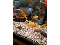 10 jellow malawi and 4 parrot fish