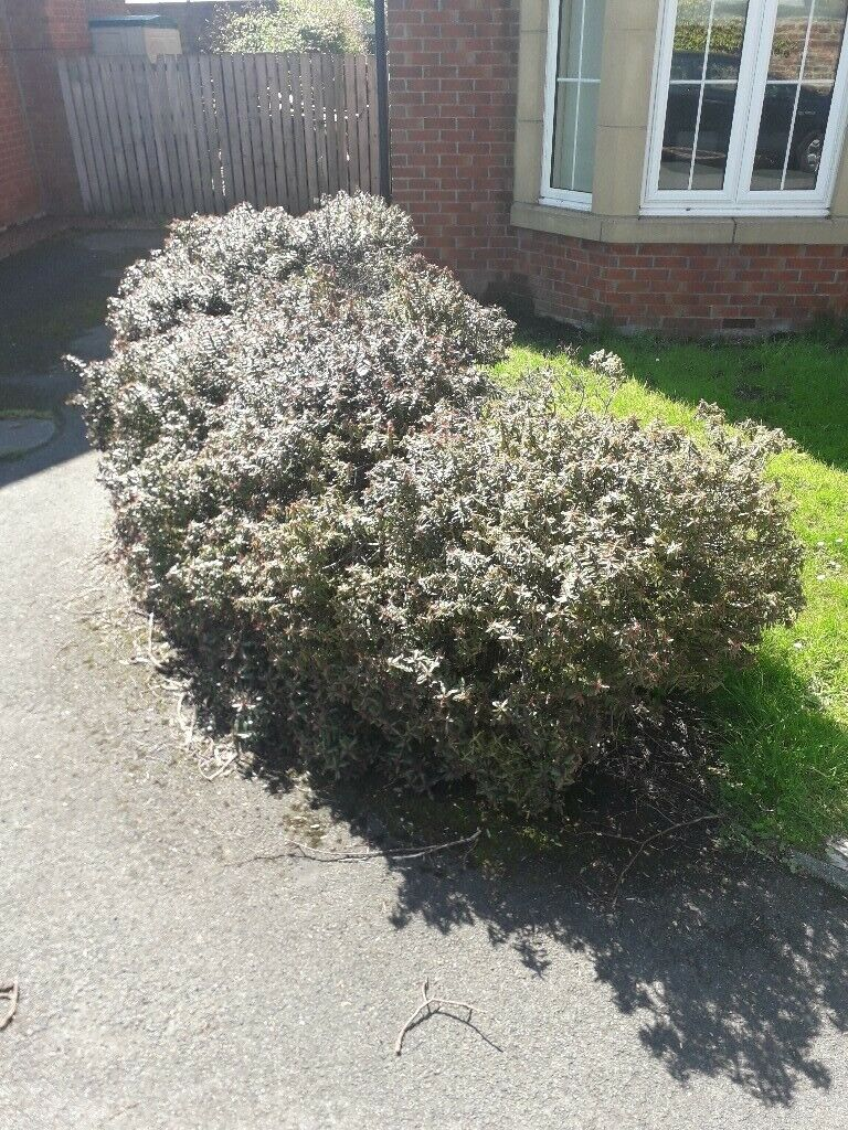 Free Bushes Shrubs Evergreen Mature Plants In Darlington