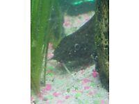 Tropical catfish