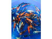 "Beautiful 4-5"" Japanese koi for fish pond"