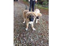 Caucasian Shepherd Pups update 2 boys left