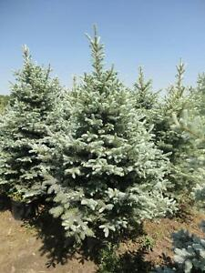 DaPontes Colorado Spruce - Tree Nursery