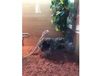 Bearded Dragon, male, 9 months old, comes with a large vivarium and extras.