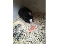 2 x neutered Male Guinea pigs