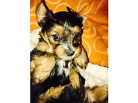 5 Yorkies for sale
