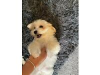 Toy poodle cross Lhasa apso
