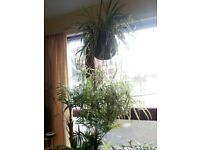 Spider plants for sale £5