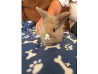 Full lionheads baby rabbits