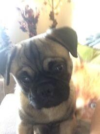 Pug x beagle 7 months old £400