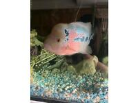 Flower-horn fish for sale