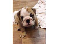 KC reg English Bulldog pups