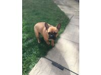 French bulldog 6 months
