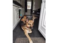 2 x GSD Female (1 Year Olds)