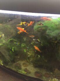 Swordtail tropical fish