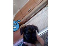 Kc reg border terrier