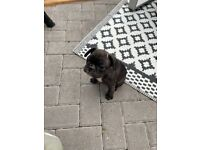 French bulldog girl READY TO LEAVE 8/9/21