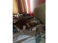6 month tabby kitten for sale