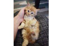 Fluffy kittens for sale