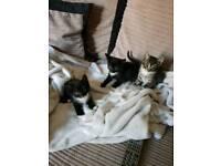 2 Tabby kittens £80 and 2 Black&White £60 girls for sale