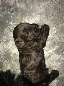 Cockerpooh puppies