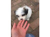 Beautiful Maltese/shitzu puppy