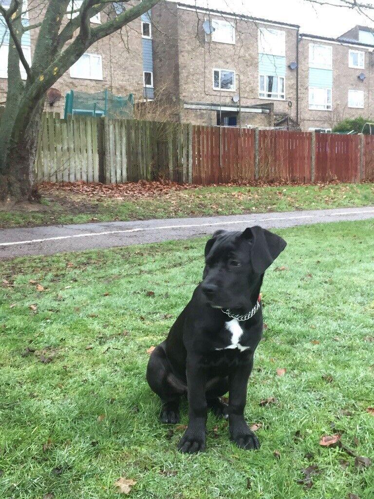 1864af03d76 Cane Corso (Italian Mastiff) | in Colchester, Essex | Gumtree