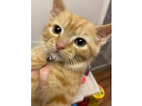 Ginger Kitten (Male 16 weeks)