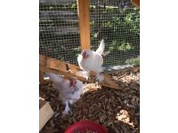 Male sablepoot chicken