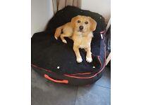 Puppy for sale. Beagle x Pomeranian
