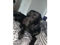 Labrador x Rottweiler 11 months old