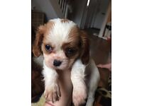 King Charles cavalier puppy for sale