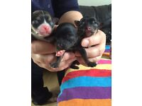 3 adorable Chihuahua puppies 1 girl 2 boys will be ready on & around 14/11/16.