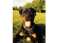 Rottweiler Puppies - Kc Registered