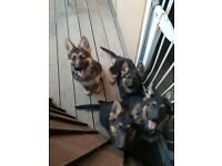 KC straight back GERMAN SHEPHERD PUPPYS