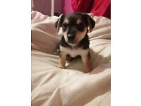 1 female Jackahuahua puppy, ready to leave now