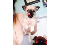 2 stunning Full Breed chihuahua puppies
