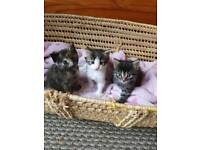 beautiful female kittens looking for their forever homes