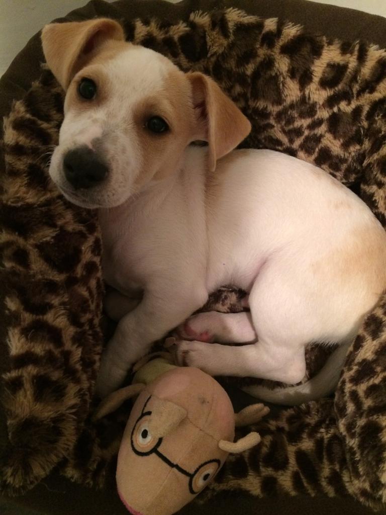 Jack russle beagle mix pup