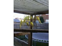 Yellow with red eyes budgies for sale £20 each 07824862961