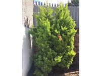 Cypress leylandi trees wanted 6-12 feet tall