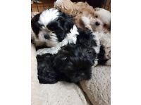 Teacup Shorkie (Shih Tzu/Yorkie) Puppies for Adoption