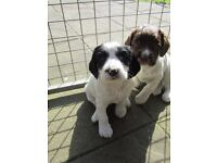 Pedigree Springer Spaniel Pups For Sale