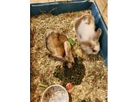Rabbits for sale £25pounds for both of them thay are both male thay don't come with a hutch