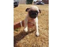 Pug puppys - KC registered