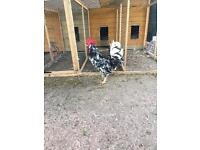 2 Exchequer Leghorn roosters for sale (chickens, poultry)
