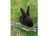 One year old female rabbit for sale