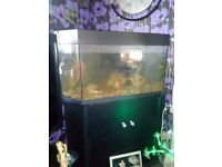 4ft corner fish tank with 2large fish