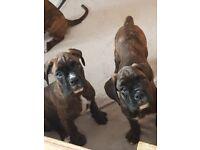 Last KC female Boxer puppy for sale