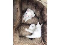 Beautiful pure white kittens