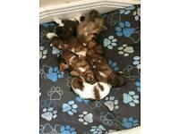 Jackaranian cross shis tzu puppies